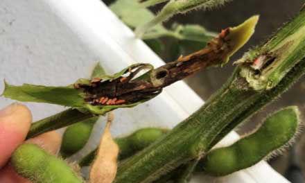 Gall midge larvae feeding in soybean stems. Larvae turn bright red or orange as they mature.