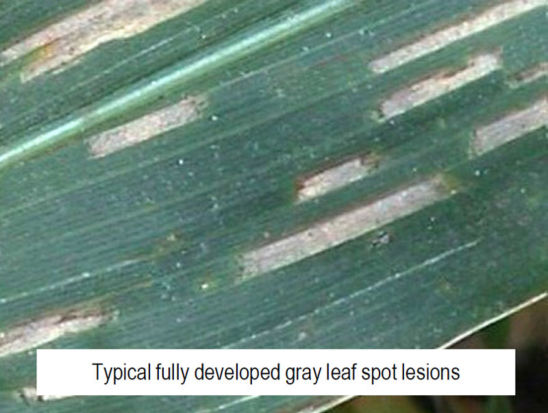 Fully developed gray leaf spot lesions in corn.