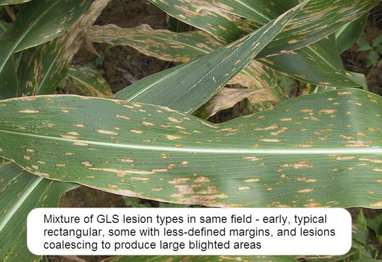 Mixture of gray leaf spot lesion types.