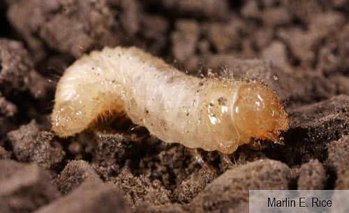 This is a closeup photo showing a grape colaspis larva.