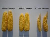 Ears with V5 hail damage, V8 hail damage and VT hail damage