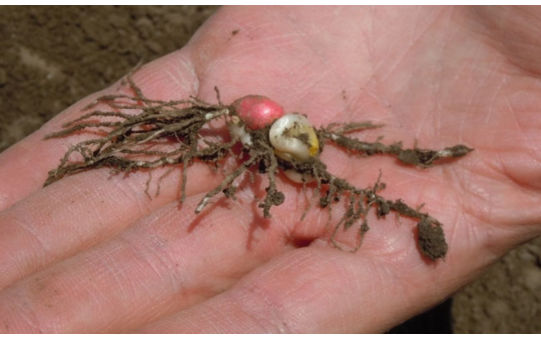Photo showing corn seedling injury caused by temperature fluctuations.