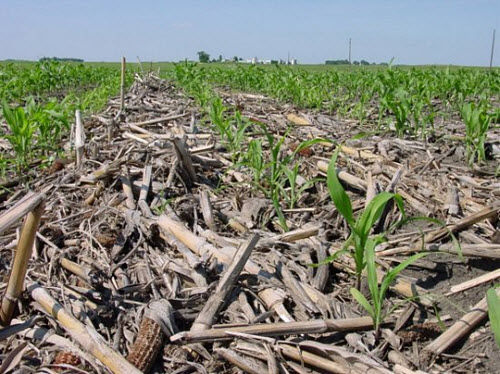 High-residue corn field