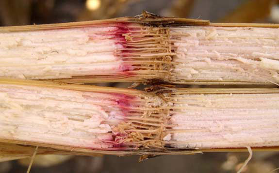 This is a photo showing corn stalk discoloration characteristic of Gibberella.