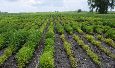 Pioneer iron deficiency chlorosis research plot.