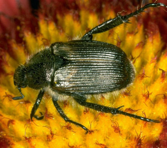 False Japanese Beetle/Sand Chafer