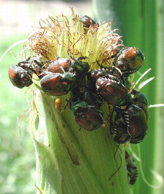 Japanese beetles feeding on corn