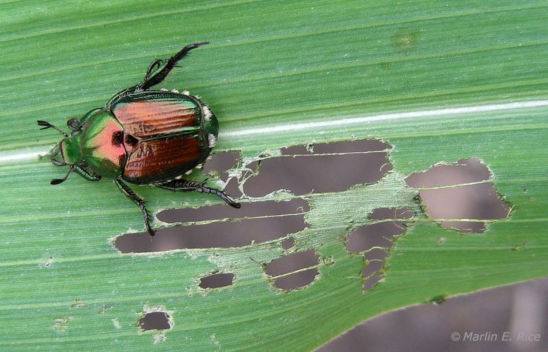 Japanese beetle on corn leaf