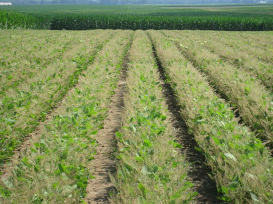 Soybean field damaged by Japanese beetles.