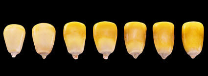 Progression of milk line in corn kernels from R5 to R6.