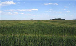 Corn-following-corn field shows delayed tasseling in strips with excessive residue left by combine.