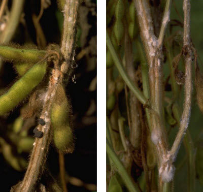 White mold on soybean stems