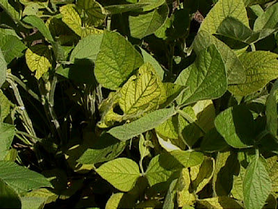 Manganese deficient soybeans