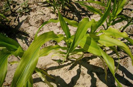 Iron or zinc deficiency symptoms in corn.
