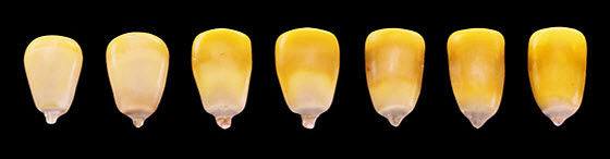 Progression of milk line in corn kernels from R5, or early dent to R6, or physiological maturity.