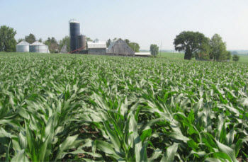 Cornfield at the beginning of the rapid N uptake phase.