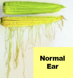 Normal corn ear (silks exposed to pollen daily.)