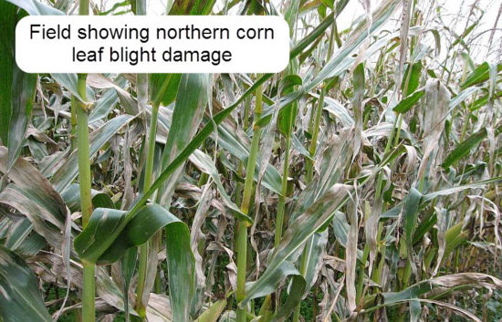 Field showing northern corn leaf blight damage