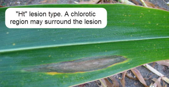 HT lesion type: A chlorotic region may surround the lesion