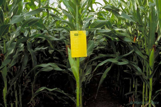 Pherocon AM/NB traps are used to sample for corn rootworms. Proper placement in corn is at ear height.