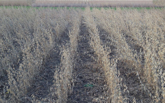 Soybeans - conventional management system (left) with noticeably greater symptoms of anthracnose compared to the intensive management system (right).
