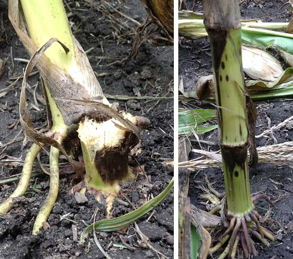 This is a photo showing stalk breakage and dark lesions on lower nodes of corn plants affected by Physoderma stalk rot.