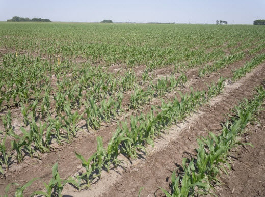 Photo showing a field with a Pioneer plant population research experiment.