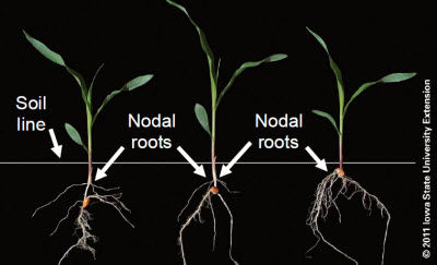 Planting depth and placement of nodal roots.