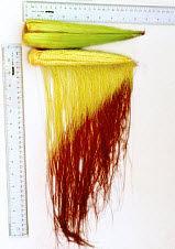 Silk growth measurement.