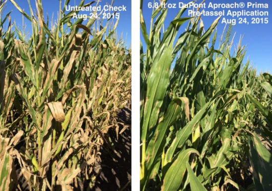 Field trial comparing DuPont Aproach Prima fungicide pretassel applications in corn to untreated corn with high NCLB pressure.