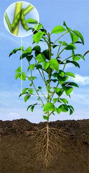 R4 Soybean Stage: Full Pod