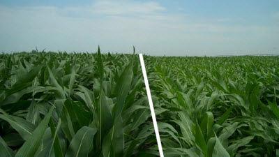Field comparison depicting nitrogen stress.