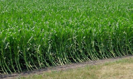 Corn root lodging