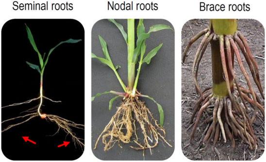 Seminal roots