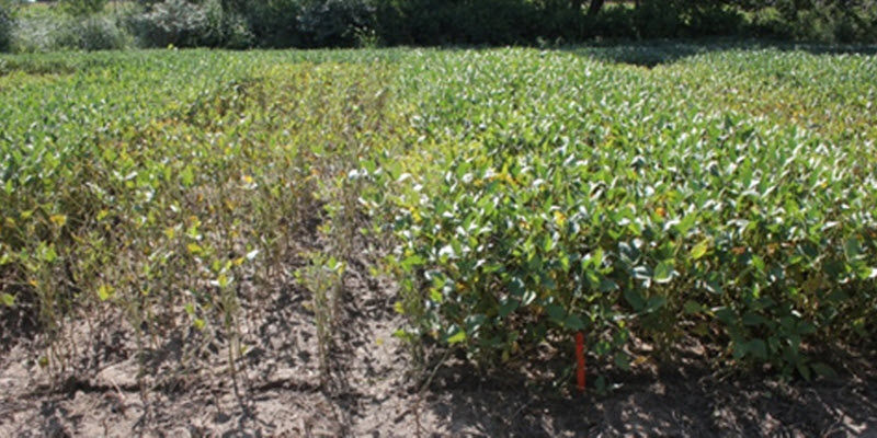 Photo: Differences in SDS symptoms between soybean varieties in a research study.