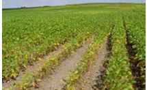Photo: field showing a combination of symptoms from SCN and brown spot.