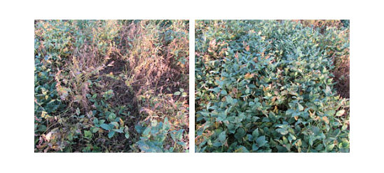 Soybeans treated with FST/IST and FST/IST + ILeVO fungicide at a research location  near Lawrence