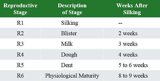 This is a table showing approximate time after corn silking to beginning of each reproductive growth stage.