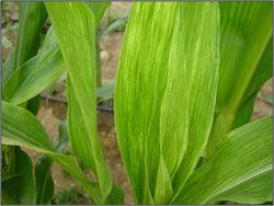 Viral Disease in Grain Sorghum