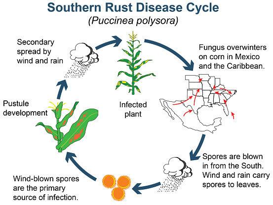 Southern rust disease cycle in corn.