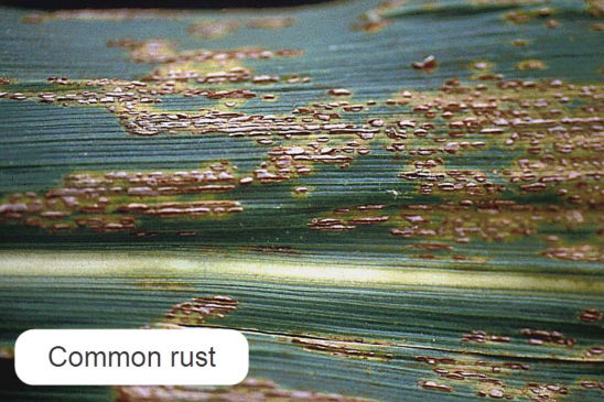 Common rust