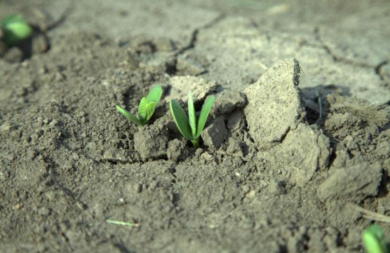 Soil crusting impacts soybean emergence.