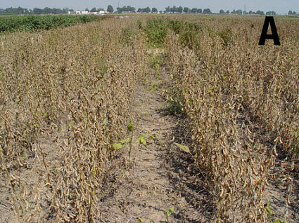 Weed-free soybeans.