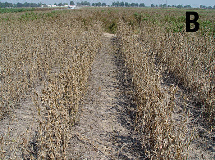 weed-free soybeans treated with a desiccant.