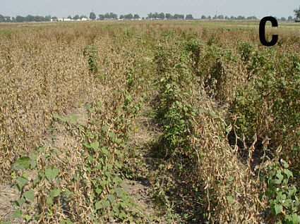 Soybeans with 1 pitted morning-glory plant per row foot.