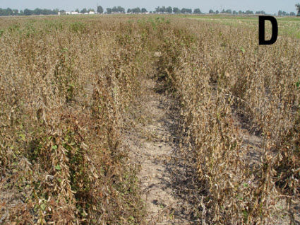 Soybean plants with 1 pitted morningglory plant per row foot treated with a desiccant.