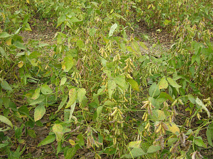 Soybeans with some retained foliage.