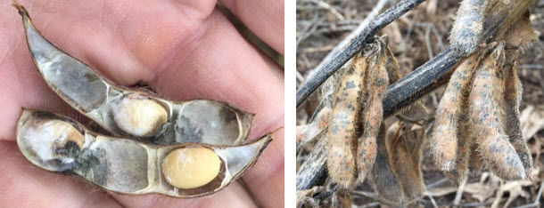 Photo showing soybean seed and pod injury from mold.