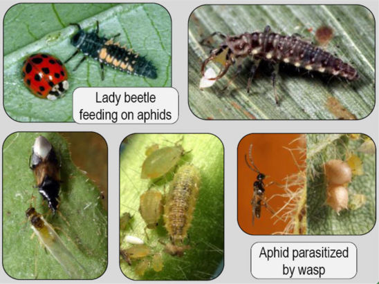 Natural enemies of soybean aphids