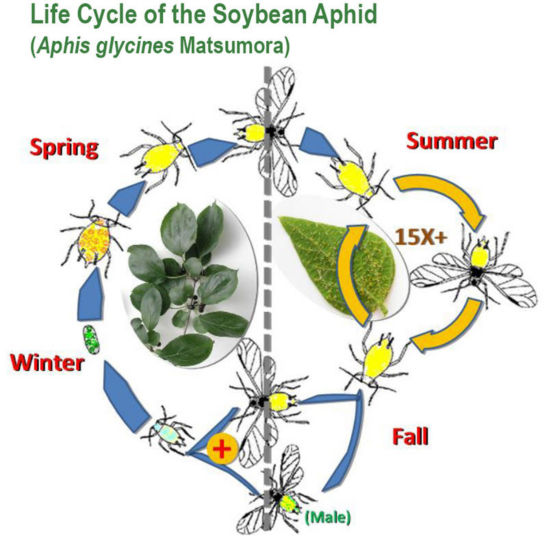 Life cycle of the soybean aphid
